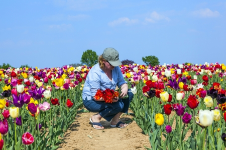 woman cutting fresh tulips at the field photo