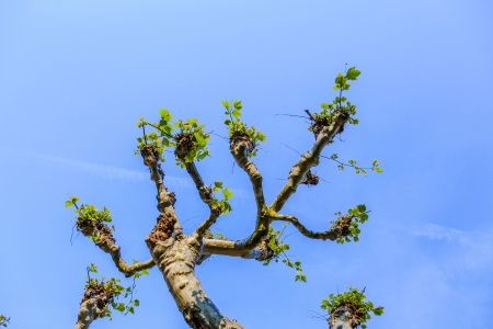 branch of plane tree under blue sky photo