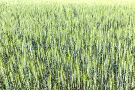 beautiful pattern of green grain in grainfield photo