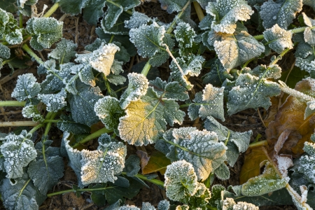 icy leaf of plant in the field in wintertime photo