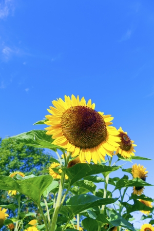 beautiful blooming sunflowers on the meadow with blue sky photo