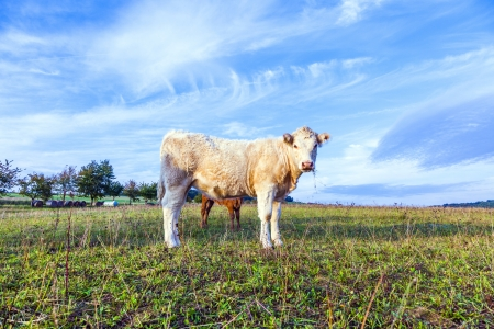 Portrait of nice brown cow in a field photo