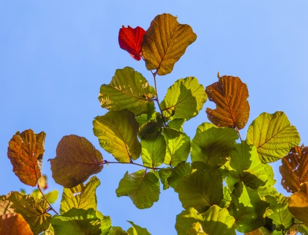 leaves of a hazlenut tree in detail Stock Photo - 15257181
