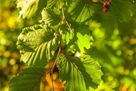 leaves of a hazlenut tree in detail Stock Photo - 15257186