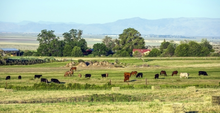 cows grazing at the meadow with green grass photo