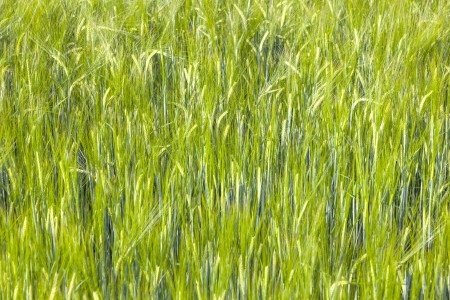 green  field in summertime with head of corn Stock Photo - 15324069