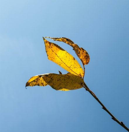 yellow autumn leaves hanging at the birch tree with blue sky photo