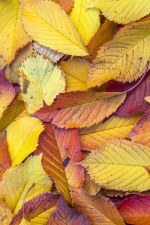 yellow orange autumn leaves lying in the faded foliage photo