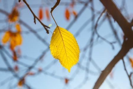 yellow autumn leaves hanging at the tree with blue sky photo