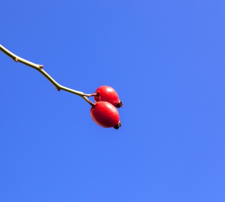 red dog rose under blue sky Stock Photo - 15702686