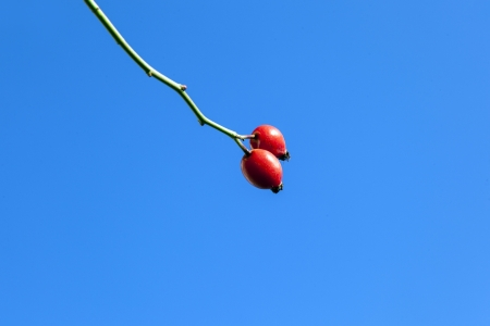 red rose hip under blue sky photo