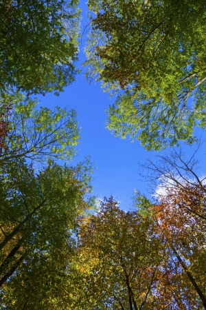 crown of oak trees in autumn under blue sky photo