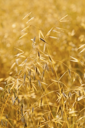 golden ripe oat grass in detail at the field photo