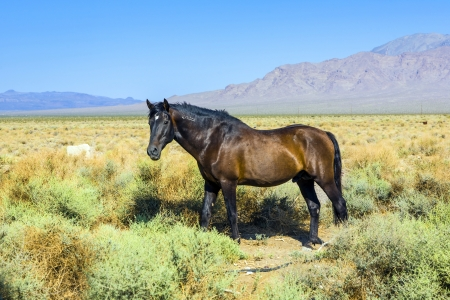 wild horses in the prarie in the old  abandonned small village of Death valley junction,  an old Borax Mining  east of the Death valley