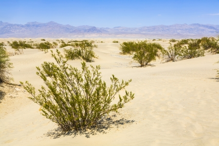 dried desert gras in Mesquite Flats Sand Dunes in the northern point of the Dead valley in heat, made of fine quartz sand Stock Photo - 16721660