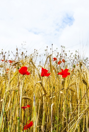 Poppy flowers with ble sky and clouds on the meadow Stock Photo - 16791418
