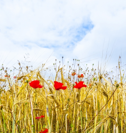 Poppy flowers with ble sky and clouds on the meadow Stock Photo - 16791425