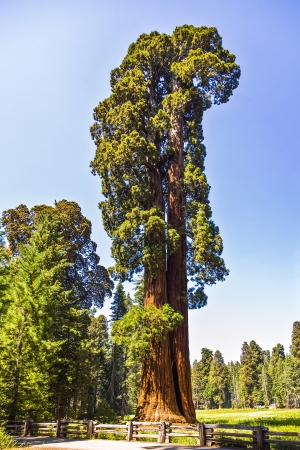 bole: tall and big sequoias in beautiful sequoia national park