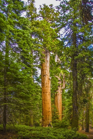 high sierra: tall and big sequoias in beautiful sequoia national park