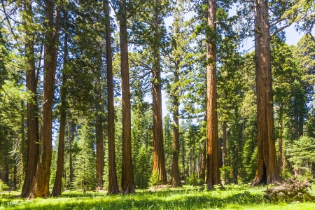 the famous big sequoia trees are standing in Sequoia National Park, Giant village area , big famous Sequoia trees, mammut trees Stock Photo