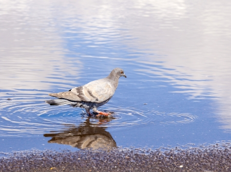 An urban pigeon reflecting in the water photo