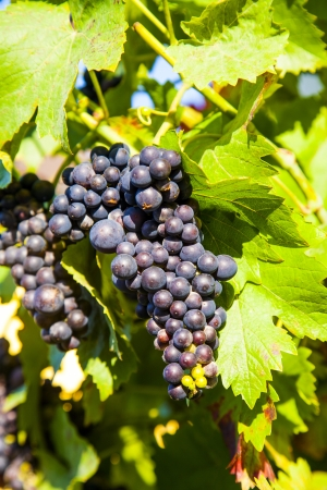 Grapes prosper well at the housewall because of the sunshine and the warmness Stock Photo - 16864623