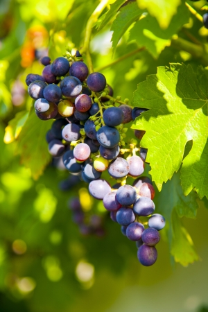 Grapes prosper well at the housewall because of the sunshine and the warmness Stock Photo - 16864599