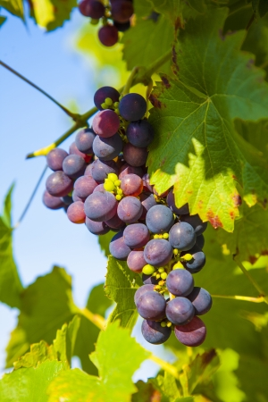 Grapes prosper well at the housewall because of the sunshine and the warmness Stock Photo - 16864573