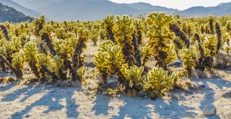 beautiful Cholla Cactus Garden in Joshua Treer national park in afternoon sun photo