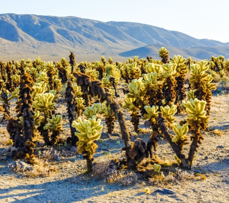 cholla cactus: beautiful Cholla Cactus Garden in Joshua Treer national park in afternoon sun