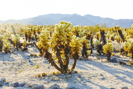 cholla cactus: beautiful Cholla Cactus Garden in Joshua Treer national park in afternoon sun