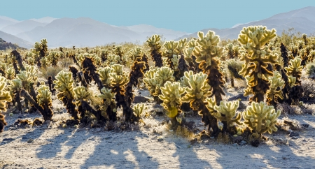 beautiful Cholla Cactus Garden in Joshua Treer national park in afternoon sun Stock Photo - 16864910