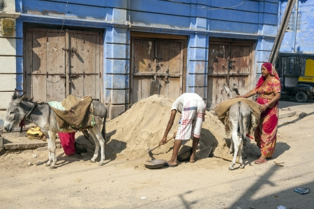 JODHPUR, INDIA - OCTOBER 23: donkeys are used to transport heavy goods up to the construction site on Octover 23,2012 in Jodhpur, India. Donkeys are still nowadays used even in big towns to transport heavy goods.