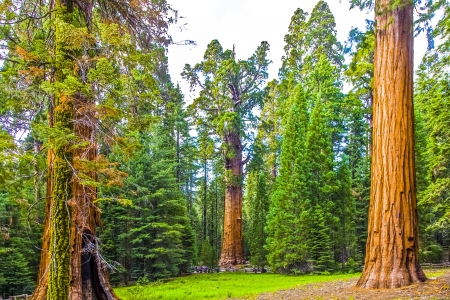 girth: tall and big sequoias in beautiful sequoia national park