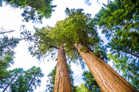 girth: Sequoia national Park with old huge Sequoia trees like redwoods in beautiful landscape Stock Photo