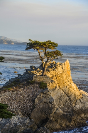 PEPPLE BEACH, USA - JULY 26. lonely cypress in sunset on July 26,2008 in Pebble Beach, USA. Since 250 years this lonely cypress stands on the hill and is nowadays the symbol of the Pebble Beach Company.