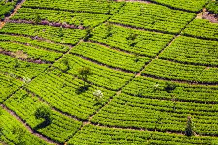 green tea plantation in Sri Lanka photo