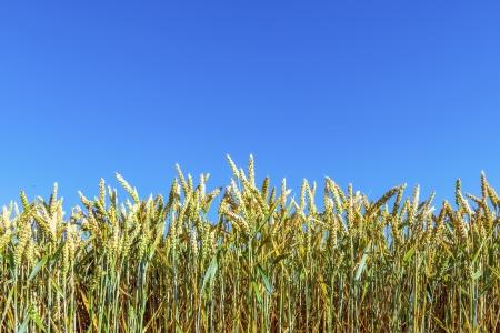 corn field under blue sky photo
