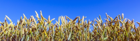 corn field under blue sky photo