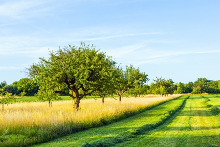 apple blossom: beautiful typical speierling apple tree in meadow for the german drink applewine Stock Photo