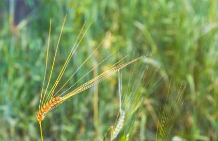 sunbeam on golden corn in field photo