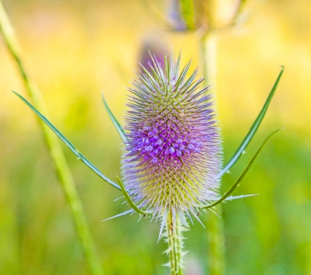 beautiful thistle in wild flower meadow photo