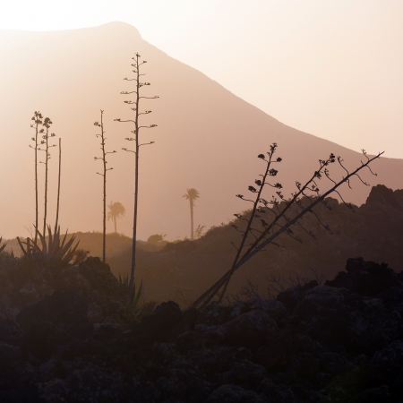 standalone: romantic sunset with standalone trees in the volcanic area in Lanzarote