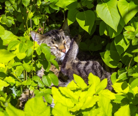 cute cat lying in the hedge and relaxes photo