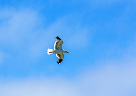 seagull flying in the blue sky Stock Photo - 17186643