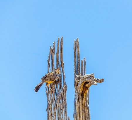 pecker: bird sitting on an old dead tree and watches the area