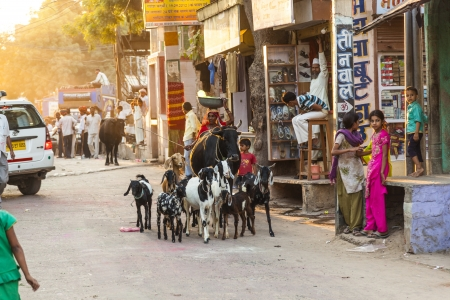 JODHPUR, INDA - OCT 24: woman with ox and her goats pass the old bazaar street on OCT 24, 2012 in early morning to get a day job in Jodhpur, India. Stock Photo - 17393208