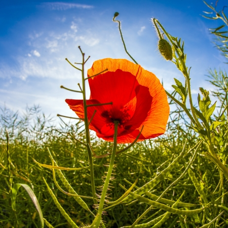 poppy flower in meadow in morning light under blue sky photo
