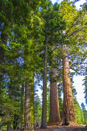 tall and big sequoias in beautiful sequoia national park photo