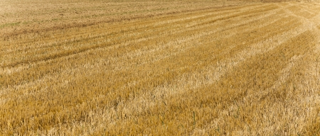 acres after harvest are looking golden in the sun photo